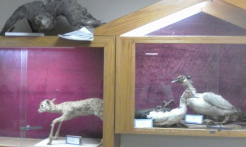 Taxidermy lamb ducks owl An-Najah