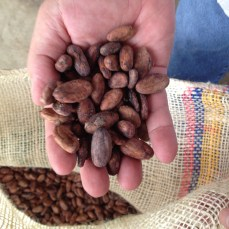 cacao-beans-in-hand