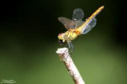 Här har trollsländan fångat en fluga och sitter nu och äter den. Det ni ser på bilden är när flugan nästan är helt uppäten.