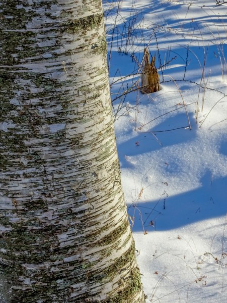 White Birch, Laudholm Farms, Wells Maine