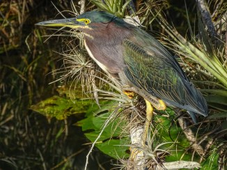 Green Heron. Slightly different angle.
