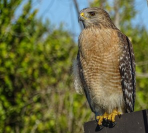 Red-shouldered Hawk. Shark Valley