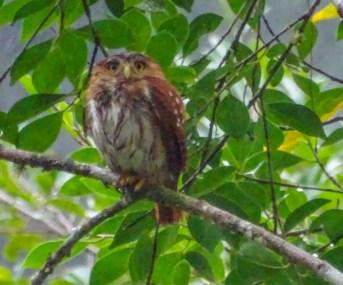 Sony HX400V @ 2400mm equiv. Ferruginous Pygmy Owl, Lancetilla Botanical Gardens. @ ISO 2500 @ 1/250 @ f6.3