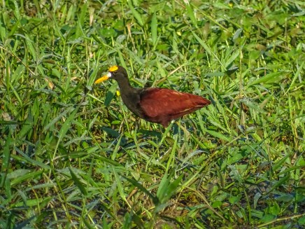 Northern Jacana, Cuero y Salado Wildlife Refuge