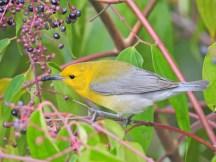Prothonatory Warbler, Tranquilo Bay Lodge, Panama