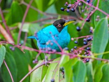 Green Honeycreeper, Tranquilo Bay Lodge, Panama
