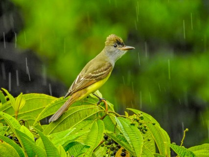 Great-crested Flycatcher, Tranquilo Bay Lodge, Panama