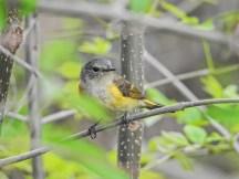 American Redstart (fm), Magee Marsh, OH