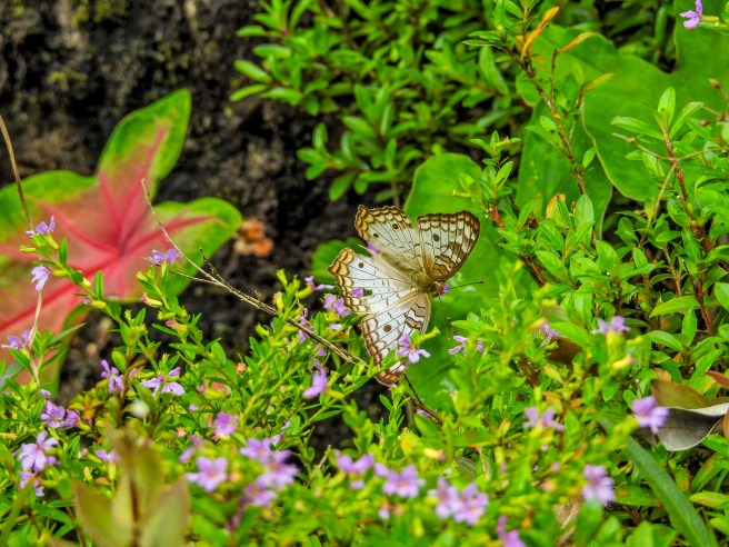 White Peacock, Green Acres Chocolate Farm, Bocas del Toro, Panama