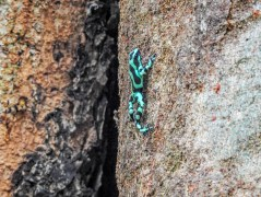Poison Dart Frog, Green Acres Chocolate Farm, Bocas del Toro, Panama