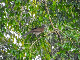 Brown-headed Chaculaca, Punte Peña, Panama