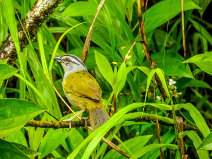 Five-striped Sparrow, Reserva Forestal De Fortuna, Panama