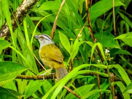 Five-striped Sparrow, Reserva Forestal De Fortuna, Panama