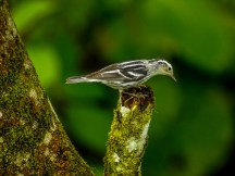 Black and White Warbler, Reserva Forestal De Fortuna, Panama