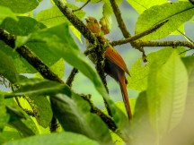 Squirrel Cuckoo, Reserva Forestal De Fortuna, Panama