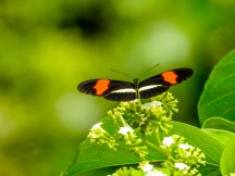 Postman Butterfly, Snyder Canal, Changuinola Panama