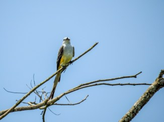 Sissor-tailed Flycatcher, Snyder Canal, Changuinola Panama