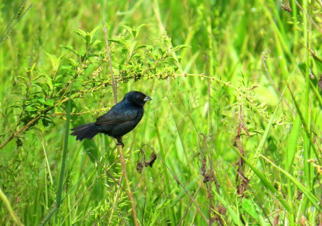 Blue-black Grassquit. Greg. Canon SX50HS
