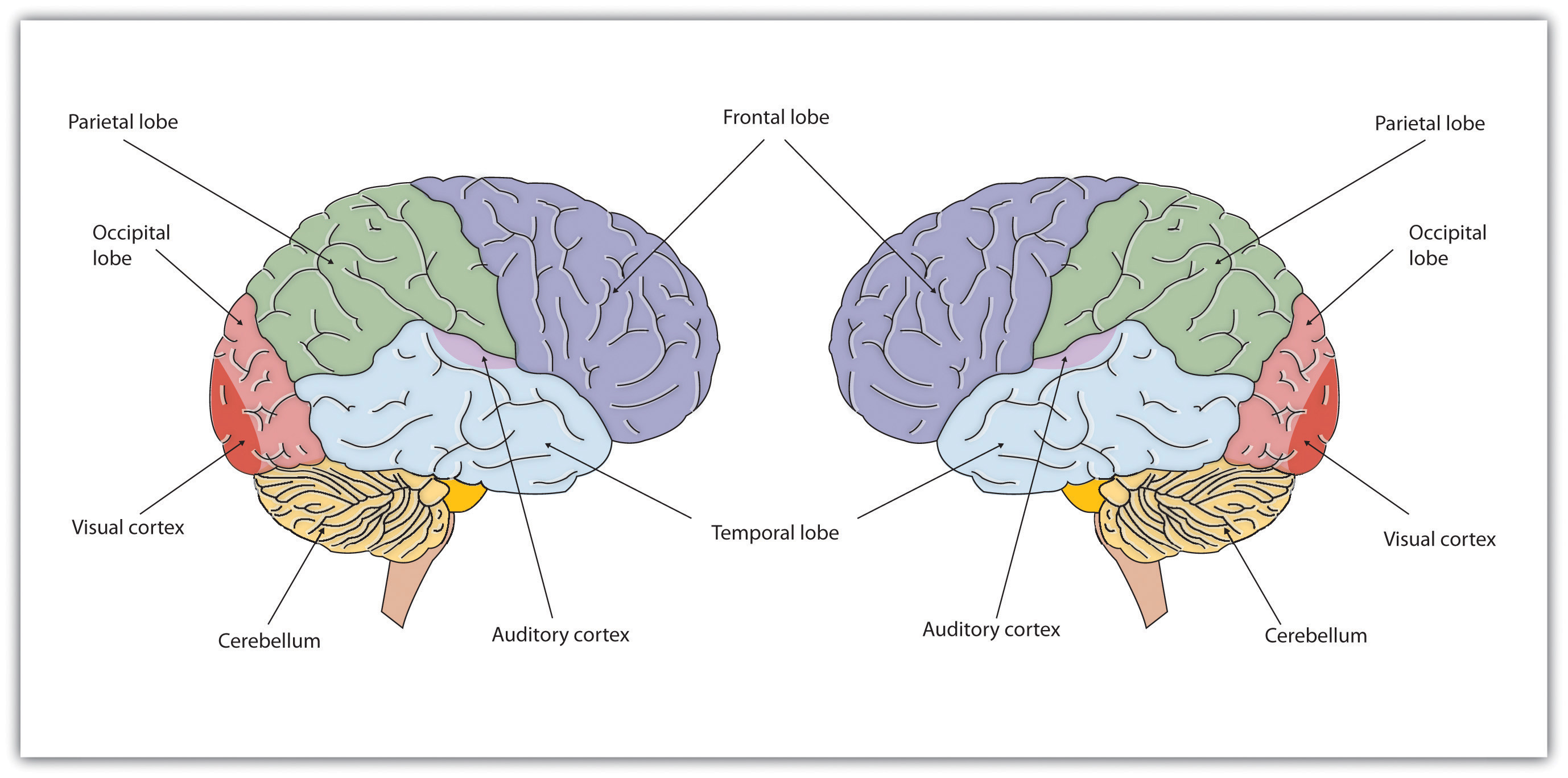 Chapter 3 Neuron And The Brain Psychology