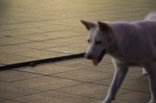 At sight, this looks to be a street dog, but probably also has a home somewhere within Shui Wei urban village.