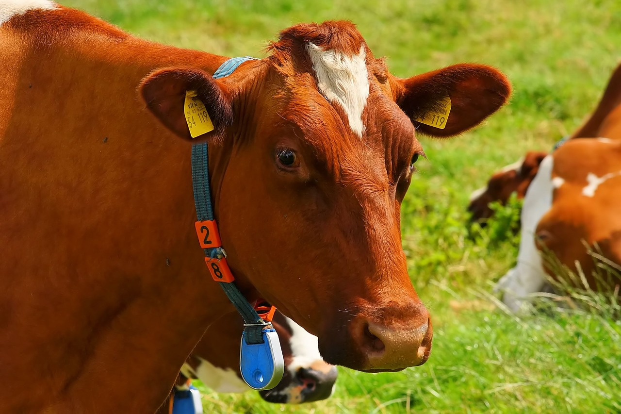 Fitbits for Cows Are Revitalizing the Dairy Industry