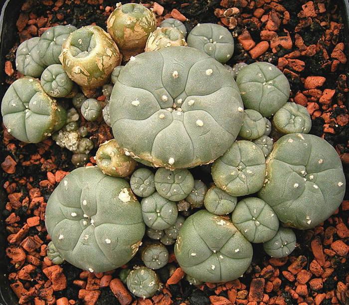 Lophophora Williamsii psychoactive