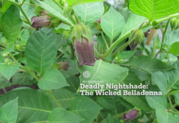 Deadly Nightshade: The Wicked Belladonna