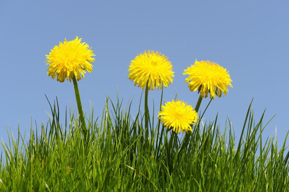 Dandelion healing plants