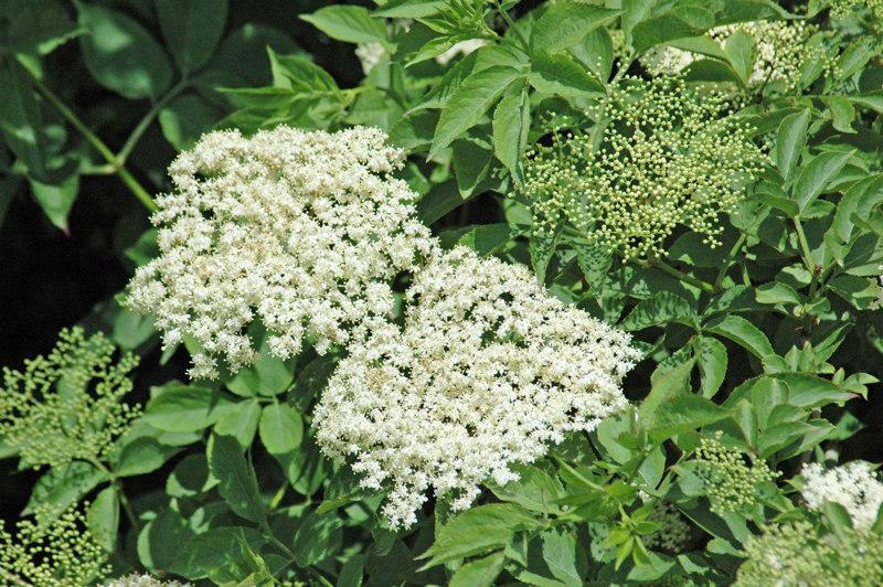 Elder healing plants