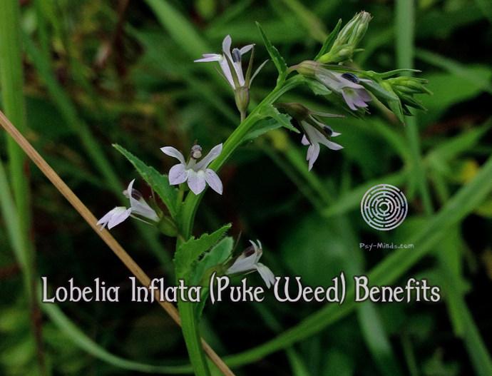 Lobelia Inflata Puke Weed Benefits Psy Minds