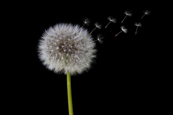 dandelion- medicinal flowers