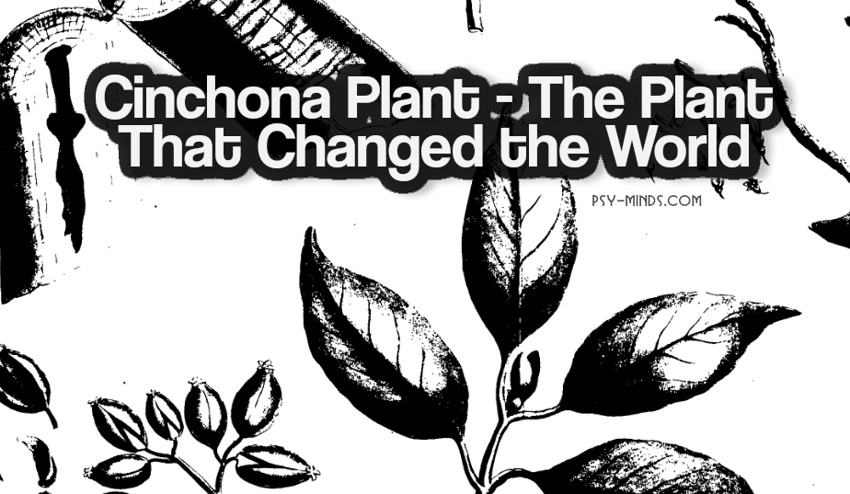 Cinchona Plant - The Plant That Changed the World