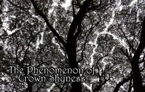 The Phenomenon of Crown Shyness