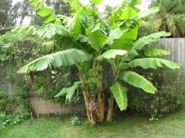 La complainte des vieux bananiers