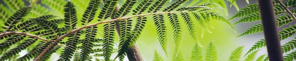 L'histoire de la fougère et du bambou