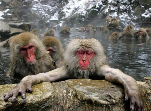 japan+macaques+in+hot+pool