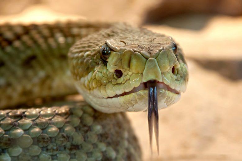 Venin de serpent comme produit anti-âge 1