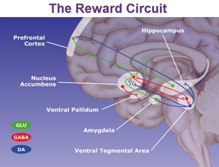 Qu'est-ce que le Nucleus ( noyau ) Accumbens ? 1