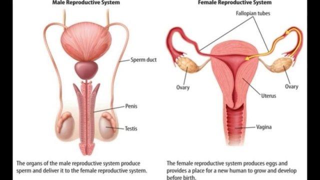 quelles-sont-les-differences-entre-les-systemes-reproductifs-masculins-et-feminins