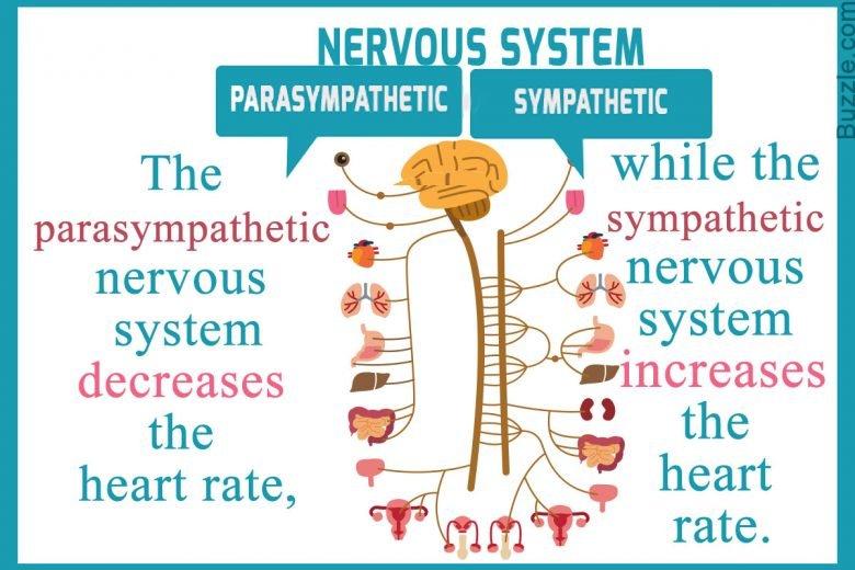 Qu'est-ce que le système nerveux parasympathique ? 1