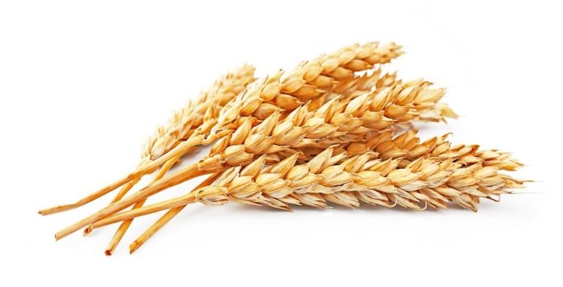 pszenica modyfikowana genetycznie