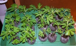Clones should be rooted in rockwool or Jiffy blocks and kept in trays until they root (© Sarah Louise)
