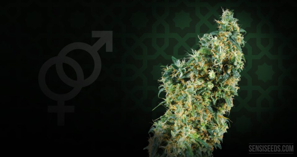 GROWING---Strain-focus-First-Lady-4K