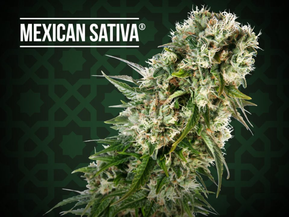 Sensi Seeds Mexican Sativa, our free giveaway at ExpoGrow 2016