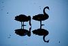 Black swans on frozen lake by Matt Biddulph, on Flickr