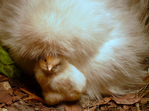 poultry chicks photo
