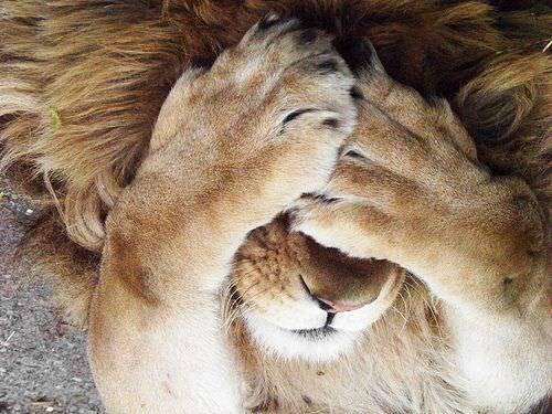 Fofura dos leões