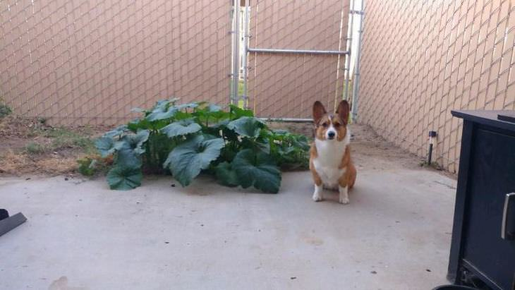 fotos engraçadas de cachorros da raça corgi