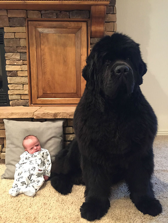 cães gigantes
