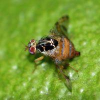 Acabar de forma ecológica con la mosca de la fruta y mosca común + [Vídeos]